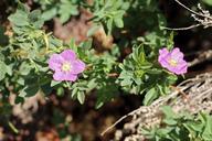 Rosa woodsii ssp. gratissima