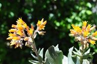 Dudleya cymosa ssp. gigantea