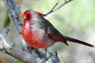 Cardinalis sinuatus
