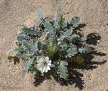 Glyptopleura marginata