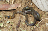 Collared Reed Snake