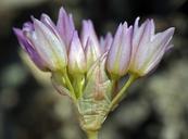 Allium fimbriatum var. purdyi