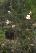 Lithophragma campanulatum