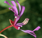 Clarkia concinna ssp. concinna