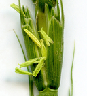Aegilops cylindrica