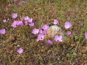 Clarkia gracilis ssp. albicaulis