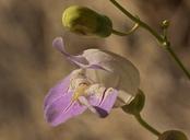 Penstemon fruticiformis var. fruticiformis