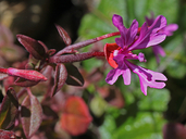 Raiche's Red-ribbon Clarkia
