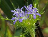 Navarretia leucocephala ssp. plieantha