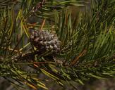 Pinus contorta var. bolanderi