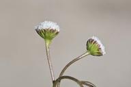 Trichocoronis wrightii