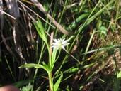 Stellaria borealis ssp. sitchana