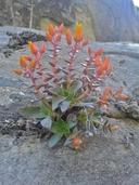 Dudleya cymosa ssp. marcescens