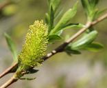 Salix lucida var. caudata