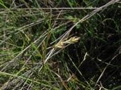 Carex tumulicola