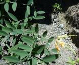 Lathyrus delnorticus