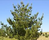 Pinus radiata