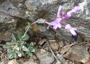 Arabis rigidissima var. rigidissima