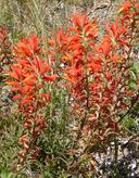 Castilleja subinclusa ssp. franciscana