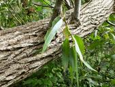 Salix lasiandra var. lasiandra
