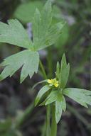 Ranunculus uncinatus