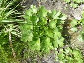 Ranunculus sceleratus var. sceleratus