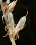 Lupinus albifrons var. collinus