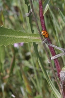 Coccinella californica