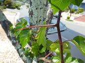 Crataegus phaenopyrum