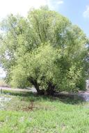 Salix Xrubens