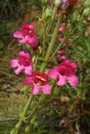 Penstemon X dubius