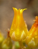 Dudleya cymosa ssp. ovatifolia