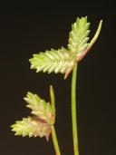 Isolepis levynsiana