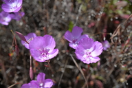 「Clarkia lewisii」的圖片搜尋結果