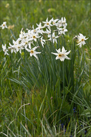 Pheasant's-eye Narcissus
