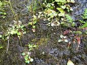 Micranthes marshallii