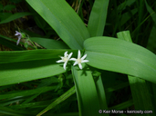 Starry False Lily of The Valley