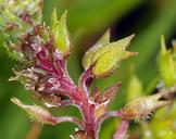 Lepidium dictyotum var. acutidens