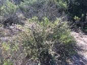 Ceanothus cuneatus var. fascicularis
