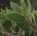 Arctostaphylos bakeri ssp. sublaevis