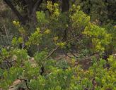 Arctostaphylos montereyensis