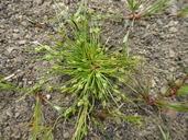 Isolepis carinata