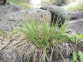 Carex sartwelliana