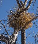Phoradendron villosum ssp. villosum