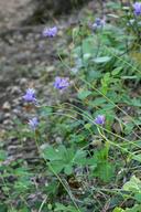 Dipterostemon capitatus ssp. capitatus