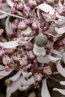 Euphorbia radians