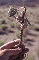 Cymopterus globosus