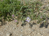 Spergularia sp.