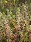 Lepidium nitidum