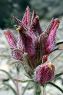Cordylanthus kingii